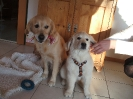 Golden Hobbit Arwen Akira (Fenja) mit Sohn Golden Hobbit Dream of Destiny (Dusty)
